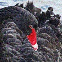 A REALLY BIG Black Swan