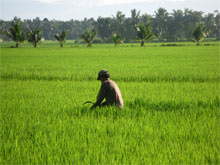 Danilo working in his organic rice field.Danilo made the switch to organic farming for its economic benefits as well as to avoid health problems caused by chemical pesticides. Photo by John Cavanagh.