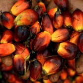 Hands full of palm oil seeds