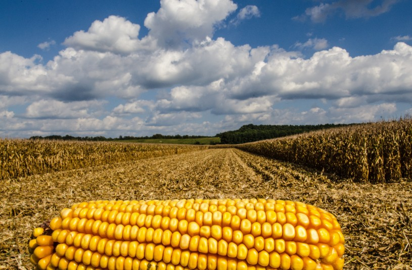 Corn cob in a corn field